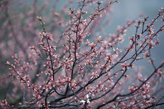 Blossoming tree in Huangshan Mountain, China Royalty Free Stock Photo