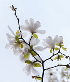 Blossoming tree magnolia Royalty Free Stock Image