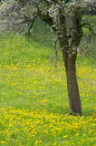 Blossoming tree in meadow Royalty Free Stock Image