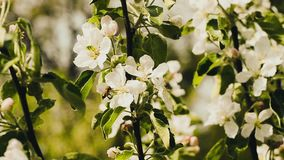Blossoming tree, nature flowers, apple tree stock footage