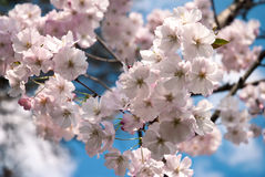 Blossoming tree with pink flowers Stock Image