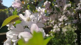 Blossoming tree pink flowers waving on wind. Blossoming tree pink flowers close up waving on wind stock video footage