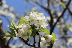 Blossoming tree of plum Royalty Free Stock Image