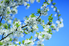 Blossoming tree of plum on background of blue sky Stock Photography