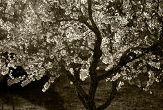 Blossoming tree sepia Stock Images