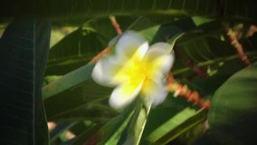 Blossoming tree, with a snow white, yellow blossoming flower. Blossoming tree, with a snow white yellow blossoming flower, the wind develops leaves in the wind stock footage