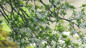 Blossoming tree  sounds of a river. Spring blossoming tree  fast river clean flora natural stock video