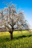 Blossoming tree in spring Royalty Free Stock Photos