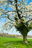 Blossoming tree in spring Royalty Free Stock Images