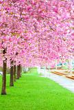 Blossoming tree in spring Royalty Free Stock Image