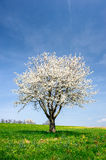 Blossoming tree in spring Stock Image