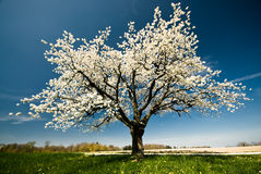 Blossoming tree in spring. Royalty Free Stock Images