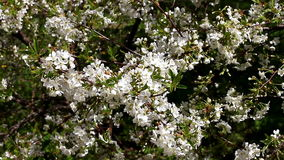 Blossoming tree in spring. Blossoming tree in the spring stock video