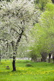 Blossoming tree at spring Stock Image