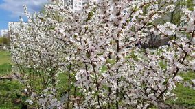 Blossoming tree in spring. Blossoming cherry tree in spring in the garden. many small flowers on the branches stock footage