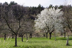 Blossoming tree in spring orchard Royalty Free Stock Photography