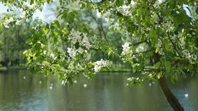 Blossoming tree in a spring park. Spring landscape - an apple-tree in bloom in front of a pond in a park stock footage