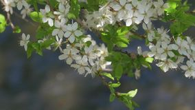 Blossoming Tree, Spring, River. Blossoming Tree, Spring, Nature, Clean, Sunlight, River stock video footage