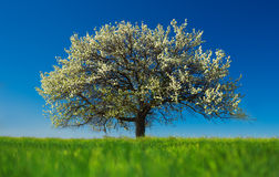 Blossoming tree in spring on rural meadow Stock Images