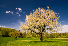 Blossoming tree in spring in rural scenery. Blossoming apple tree in spring in rural scenery with deep blue sky Stock Photo