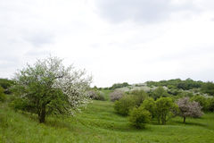 Blossoming tree in spring in rural scenery Stock Photos