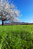 Blossoming tree in spring. Stock Photo