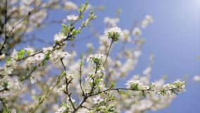 Blossoming Tree, Spring, Sunlight. Blossoming Tree, Springtime, Nature, Clean, Sunlight stock footage