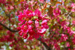 Blossoming Tree Spring Time. A tree that flowers with beautiful blossoms in the spring time Stock Photography