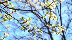 Blossoming tree in spring. Time or summer stock video footage