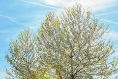 Blossoming tree in spring Stock Photo