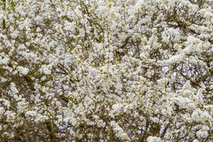 Blossoming tree in spring with very shallow focus Royalty Free Stock Photos