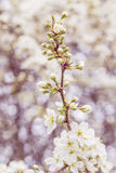 Blossoming tree in spring with very shallow focus Stock Image