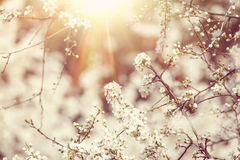 Blossoming tree in spring with very shallow focus Royalty Free Stock Image