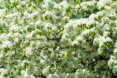 Blossoming tree in the spring. Blossoming white tree in the spring Royalty Free Stock Photo