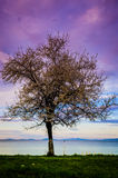 Blossoming Tree On The Sunset Shoreline. Blossoming tree in a shoreline during the sunset time with soft clouds in the sky and islands on the distant horizon Royalty Free Stock Image
