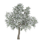 Blossoming tree with white flowers. Pyrus. Royalty Free Stock Images