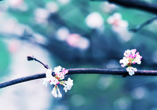 Blossoming tree with white flowers. viburnum. Stock Photography