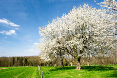 Blossoming trees Royalty Free Stock Images