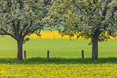 Blossoming trees in a dandelion filled meadow Royalty Free Stock Images
