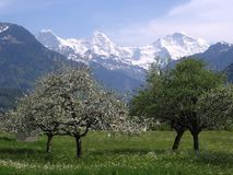 Blossoming trees in front of snow. Blossoming trees in a valley  with high snow high capped mountains in the backgound Stock Images