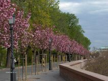 Blossoming trees lining road in city