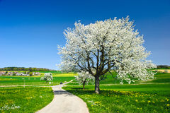 Blossoming trees in spring. Stock Image