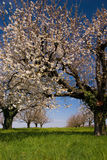 Blossoming trees in spring. Blossoming cerry trees in spring on a beautiful day Royalty Free Stock Photo