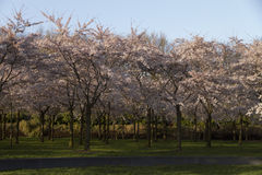 Blossoming trees Stock Photography