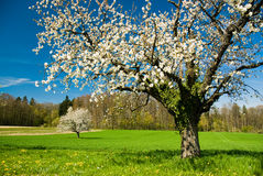 Blossoming trees in spring Royalty Free Stock Photo