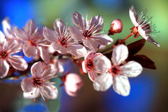 Blossoming trees in spring Royalty Free Stock Image