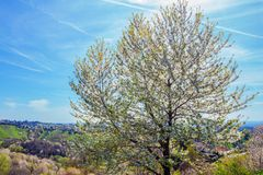 Blossoming tree on the hill in spring Royalty Free Stock Images