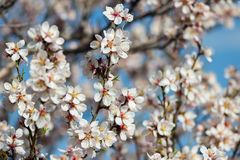 Blossoming  trees in spring time natural floral Stock Images