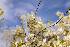 Blossoming trees Stock Photos