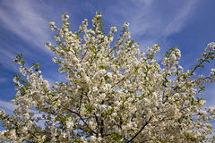 Blossoming trees Royalty Free Stock Photos